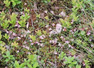 Blommande tranbär